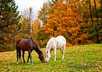 Autumn Horses, Roads End Farm, Chesterfield, New Hampshire