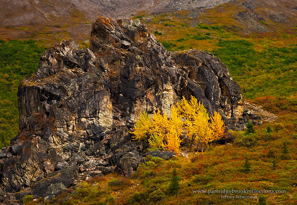 Savage River Poplars, Denali
